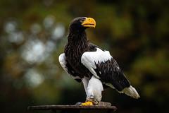 Steller's sea eagle (https://angelov.photography) Tags: stellers sea eagle haliaeetus pelagicus