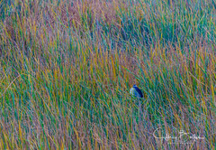 Fall colors in the reeds ( Night Heron seen ) (Jeffrey Balfus (thx for 5.5M views)) Tags: