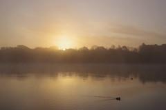 Sunrise through Mist over Black Swan Lake (Derek Morgan Photos) Tags: dintonpastures hurst winnersh mist blackswanlake sunrise