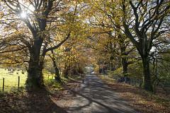Autumn Avenue (Nick Landells) Tags: lakedistrict lakelandphotowalks guided photo photography fell hill walk walks walking autumn avenue treelined trees row rows backlit sun road lamplugh cumbria