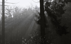 Forest b/w - Wald s/w (4) (Gutnix) Tags: outside nature shadows light blackandwhite bw countryside fog mist wuppertal dasnöckel pentax mono trees