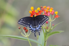 Butterfly 2019-173 (michaelramsdell1967) Tags: butterfly butterflies nature macro animal animals insect insects swallowtail black green blue bokeh beauty beautiful pretty lovely detail delicate fragile vivid vibrant upclose closeup bug bugs garden milkweed wildlife zen nikon
