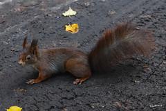 Eichhörnchen (Sciurus), Squirrel (wb.fotografie) Tags: squirrel eichhörnchen sciurus baumhörnchen nagetiere rodentia nagetier hörnchen eurasische kaukasischen grauhörnchen eichkätzchen