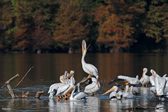 Cross Lake-7965 (MSMcCarthy Photography) Tags: bird birds pelican whitepelican lake crosslake msmccarthyphotography nikond500 nikon200500mm water louisiana