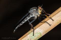 Robber Fly (jgruber111) Tags: asilinae asilidae diptera insect macro entomology robberfly laspiedrasamazoncenter