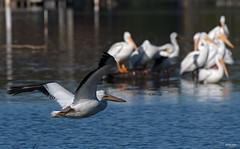 Cross Lake-7763 (MSMcCarthy Photography) Tags: bird birds pelican whitepelican lake crosslake msmccarthyphotography nikond500 nikon200500mm water louisiana