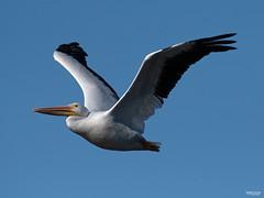 Cross Lake-7749 (MSMcCarthy Photography) Tags: bird birds pelican whitepelican lake crosslake msmccarthyphotography nikond500 nikon200500mm water louisiana