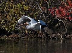 Cross Lake-7602 (MSMcCarthy Photography) Tags: bird birds pelican whitepelican lake crosslake msmccarthyphotography nikond500 nikon200500mm water louisiana