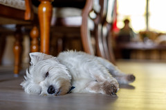 Toby napping (_Plamen_) Tags: toby westie dog puppy bokeh canon 50l canon50l sleepingdog napping westhighlandterrier westhighlandwhiteterrier lowangle lowperspective canon5d4 interior dof