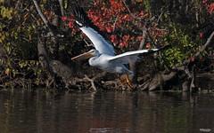 Cross Lake-7600 (MSMcCarthy Photography) Tags: bird birds pelican whitepelican lake crosslake msmccarthyphotography nikond500 nikon200500mm water louisiana