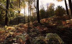 Fall in the ' Kluisbos'  -  Belgium (roland_tempels) Tags: kluisbergen belgium supershot kluisbos forest trees sun green rondevanvlaanderenstraat fall autumn