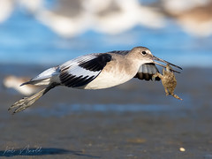 Willet with dinner (nate.arnold) Tags: shorebird bird crab willet
