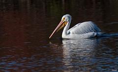 Cross Lake-7469 (MSMcCarthy Photography) Tags: bird birds pelican whitepelican lake crosslake msmccarthyphotography nikond500 nikon200500mm water louisiana