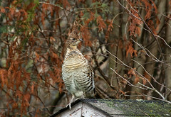 Grouse On A Roof (Diane Marshman) Tags: grouse large bird brown white tan feathers fall pa pennsylvania state nature wildlife autumn season branches roof wood shingles moss crest phasianidae ruffedgrouse ruffed black reddish