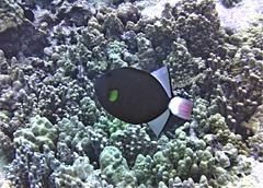 Pinktail Triggerfish (xd_travel) Tags: 2013 hawaii bigisland uw underwater scuba reeffish coral triggerfish pinktailtriggerfish