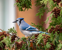 Blue Jay (SusieMSB7) Tags: nature birds bluejay
