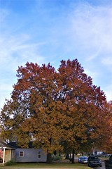 DSC08236 (2) (tomcomjr) Tags: sonyilca77m2 sal1855 fall2019 trees sky orange red gold green yellow blue white brown oak