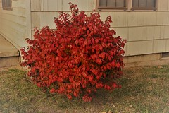 Burning Bush 1 (tomcomjr) Tags: sonyilca77m2 sal1855 fall2019 trees sky orange red gold green yellow blue white brown
