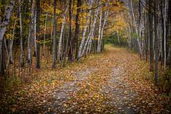 birch trail (Christian Collins) Tags: sonyilce6000 efs24mmf28stm lensadapter sonytocanon canontosony fall autumn path birch midland mi michigan gravel birches oldroad