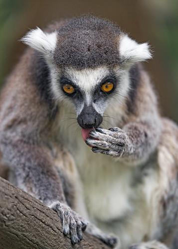 Lemur licking hand