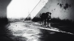 KAOS in cortile (Spenny71) Tags: bn bw rottweiler cane dog