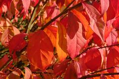 Late Day Burning (Modkuse) Tags: nature natural art artphotography artistic artisticphotography photoart burningbush burning brightcolors colorful colors red redleaves sooc straightoutofcamera nopostprocessing velvia vividcolor fujivelvia fujifilmxt2velvia fujifilmxt2velviasimulation fujifilm fujifilmxt2 fujinon xt2 xf35mmf2rwr fujinonxf35mmf2rwr