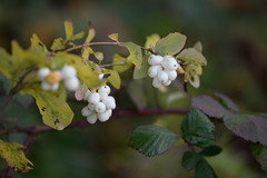 Snowberry (luke.me.up) Tags: nikon z6 nikonz6 nikonmirrorless 70200 7020028e nature flora