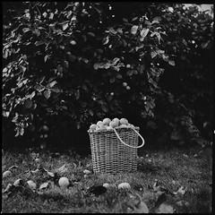 ***** (yuriikarpov) Tags: тишина осень покой яблоки сад деревня bw blackandwhite среднийформат fomapan400 6х6 pentaconsix