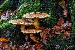 Drieling (Hans van Bockel) Tags: 1680mm d7200 hansvanbockel lightroom nikkor nikon paddenstoelen mushrooms funghi natuur landgoed denalerdinck park havezate herfst autumn fall kleuren colours