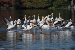 Cross Lake-7969 (MSMcCarthy Photography) Tags: bird birds pelican whitepelican lake crosslake msmccarthyphotography nikond500 nikon200500mm water louisiana