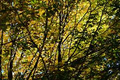 1PRO_4545 (Radu Pavel) Tags: radu radupavel pavel fotononstop cosmos ©radupavelallrightsreserved ©radupavelallerechtevorbehalten ©radupaveltodoslosderechosreservados ©radupavel版権所有 nature natur naturaleza 自然 colours farben colores 色 autumn herbst otoño 秋 yellow gelb amarillo 黄 orange naranja 橙色 tree baum árbol 木 leaves blätter hojas 葉 outdoor alairelibre imfreien ルーマニア world welt mundo 世界 木漏れ日 2019