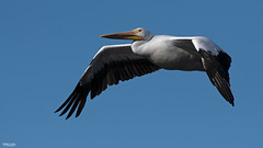Cross Lake-7751 (MSMcCarthy Photography) Tags: bird birds pelican whitepelican lake crosslake msmccarthyphotography nikond500 nikon200500mm water louisiana