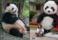 Happy panda, unhappy panda girl (Flight of life) Tags: the chengdu research giant panda breeding girl selfie china