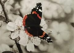 Vanessa (Cinzia Donadi - Treviso Italy) Tags: carboncino charcoal fiore flower butterfly farfalla vanessa