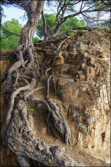 Rocks and Roots   Tossa de Mar, Catalonia (Flemming J. Gade) Tags: roots rocks tree pine colour blanes catalonia