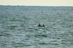 Bottlenosed Dolphin (jon lees) Tags: wildlife ballyquitnn point countydown portaferry nationaltrust bottlenosed dolphin
