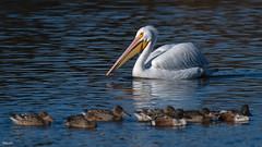 Cross Lake-7462 (MSMcCarthy Photography) Tags: bird birds pelican whitepelican lake crosslake msmccarthyphotography nikond500 nikon200500mm water louisiana