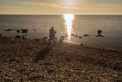 Dobby and the sea (Yvonne L Sweden) Tags: cockerspaniel spring hav dobbylarsson sweden visby sea visbyhamn semester dobby kvällspromenad dog pet may gotland hund