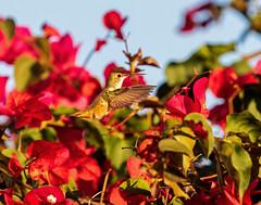 Rufous Hummingbird_1 (SamOphoto2011) Tags: canon california lajolla sandiego hummingbird 7dmarkii 100400lmarkii rufoushummingbird selasphorusrufus