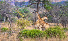 Giraffes Crossing Necks in South Africa (` Toshio ') Tags: toshio southafrica africa giraffe krugernationalpark wildlife kruger animal mammal safari canon7d canon 7d tree bush nature