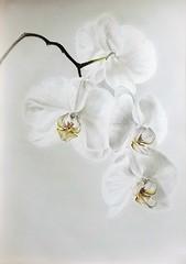 Orchidea Phal.white (Cinzia Donadi - Treviso Italy) Tags: carboncino charcoal fiore bianco white flower orchidea