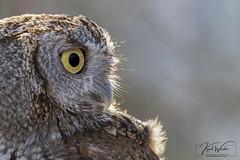 Screech.. (ThruKurtsLens.com) Tags: 2019 baldeagle fall flying kurtwecker naturephotographer nikon tacksharp thrukurtslenscom wildlifephotographer screechowl owl