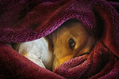 End of the day..... (mooncarrot) Tags: endofday mack mooster jrt jackrussell dog blanket