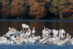 Cross Lake-7898 (MSMcCarthy Photography) Tags: bird birds pelican whitepelican lake crosslake msmccarthyphotography nikond500 nikon200500mm water louisiana