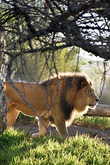 Lion 06 (L. Charnes) Tags: animals cat lion sandiegozoo