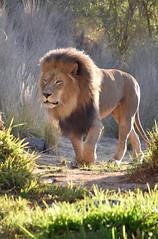 Lion 05 (L. Charnes) Tags: animals cat lion sandiegozoo