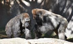 Gorilla 08 (L. Charnes) Tags: animals gorilla primate sandiegozoo