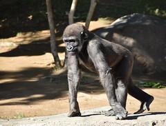 Gorilla 05 Leslie (L. Charnes) Tags: animals gorilla primate baby sandiegozoo