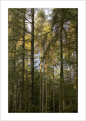 Blidworth Woods (Steve-T201) Tags: pines blidworthwoods nottinghamshire trees sunlight