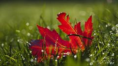 Rotes Blatt (KaAuenwasser) Tags: rot blatt gras wiese grün bokeh licht lichter sonne wasser herbst natur leuchtend morgens tag november jahreszeit ahorn rasen frost tau reif